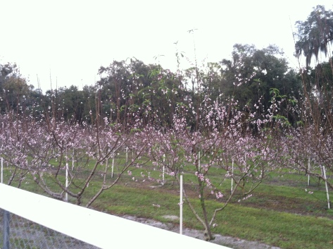 Spring! (Peach trees!!!!!)